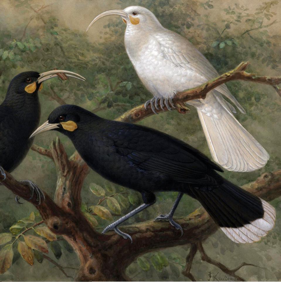 Extinct New Zealand Birds